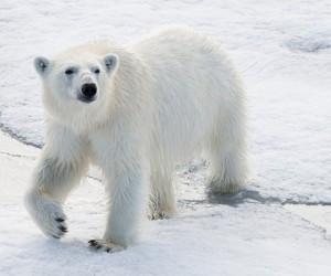 هناك حيوانات مفترسة تعتبر من أقوى الحيوانات المفترسة في العالم، بجانب البشر التهديد الوحيد لمثل هذه الحيوانات المفترسة على الأرض