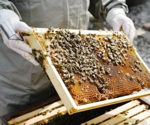تعتبر تربية النحل نشاطا مفيدا يساعد البيئة، ويزيد من عدد النحل ويمنحك عسلا لذيذا في نفس الوقت، وإذا كنت جديدا في تربية النحل، فلا داعي للقلق، في هذه ...
