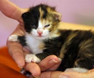تعتبر تربية القطط الصغيرة حديثة الولادة أمرا صعبا وتستغرق وقتا طويلا، ويمكن أن تكون مجزية للغاية ومفجعة أيضا، وإذا لم يكن لديك الوقت أو القدرة على ...