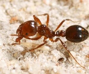 يدافع النمل الناري الأحمر المستورد عن أعشاشه بقوة ويمكن أن يلدغ بشكل متكرر، ويسبب سمه إحساسا شديدا بالحرقان والحكة، وفي حالات نادرة، قد يؤدي إلى رد ...
