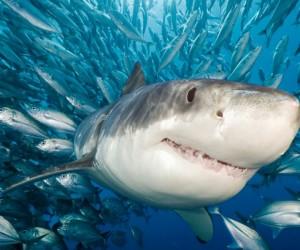 تقطع الأجسام العضلية الأنيقة لأسماك القرش المياه وهي مفترسات قوية للمحيط، وتثير الرعب في الأسماك الصغيرة وأحيانا البشر، وبعد تغطية مكثفة لهجمات أسماك ...