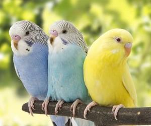 عادة ما يكون لدى الذكور والإناث البالغين لببغاء الدرة لون أخضر وأصفر على صدورهم وظهرهم، ويحتوي ريش الرأس والظهر أيضا على أنماط مختلفة من العلامات ...
