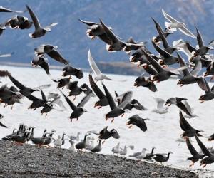 الحركة السنوية واسعة النطاق للطيور التي تتجه نحو الجنوب في أسراب كبيرة على شكل حرف V بين منازل تكاثرها في الصيف وأراضيها غير المتكاثرة في الشتاء، ...