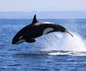 الحوت دائما في حالة حركة، لذلك يتعين عليه تناول الكثير من الطعام لمواصلة حياته، ومن الجيد، يوفر المحيط مجموعة من خيارات تناول الطعام، فما هو غذاء ...