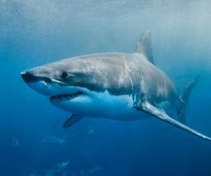 لسوء الحظ، ما يقرب من 30 ٪ من أنواع أسماك القرش إما معرضة للخطر أو مهددة بالإنقراض، وفقا للإتحاد الدولي للحفاظ على الطبيعة، والصيد الجائر هو أكبر ...