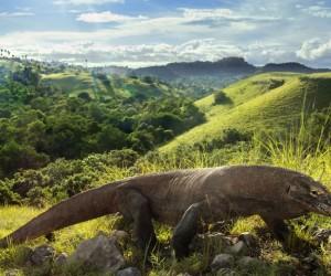 يعد تنين كومودو أكبر سحلية تعيش على الأرض اليوم، حيث يصل طوله إلى 10 أقدام (3 أمتار) ويزن 150 رطلا (68 كيلوجراما) أو أكثر، ومع ذلك، في حين أن هذا ...