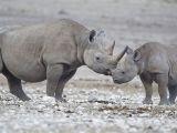 صور وحيد القرن الاسود الافريقي