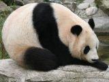 صور حيوان دب الباندا