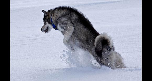 اشرس الكلاب العالم