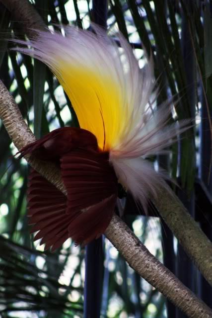 صور ومعلومات لاجمل الطيور فى العالم Large_1346841064