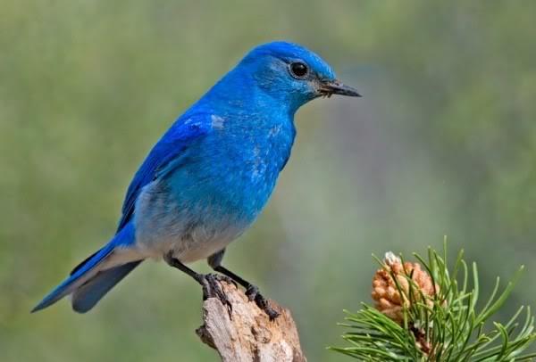 صور ومعلومات لاجمل الطيور فى العالم Large_1346841069