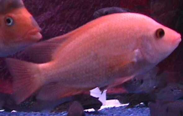 هنا يوجد مجموعة سمكة الريدديفيل 2015