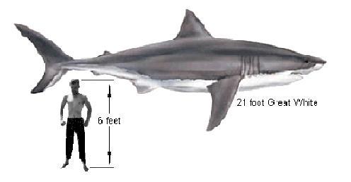 القرش الابيض معلومات بالصور والفيديو