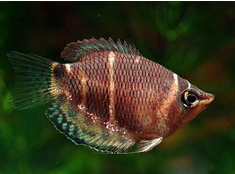 سمكة الشوكلآته