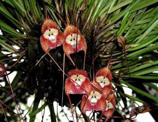 أزهار أوركيد القرد ,أزهار أغرب