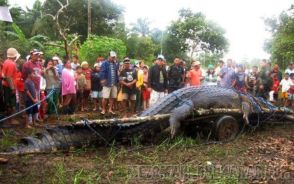 اكبر تمساح تم امساكه على الاطلاق