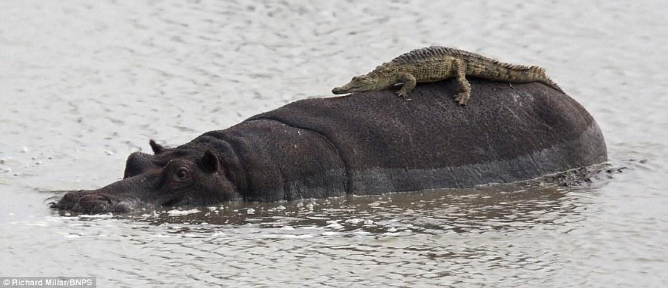تمساح صغير يستخدم فرس النهر ليعبر الشط